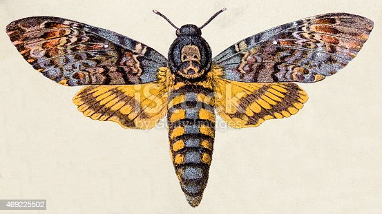 Death's-head Hawk moth (Acherontia atropos), insect animals antique illustration