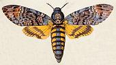 istock Death's-head Hawk moth (Acherontia atropos), insect animals antique illustration 469225502
