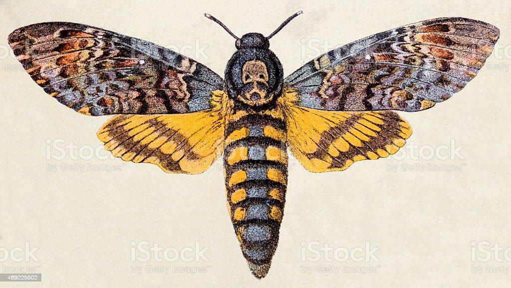 Death's-head Hawk moth (Acherontia atropos), insect animals antique illustration vector art illustration