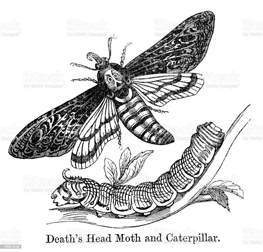 Death's-head Hawkmoth royalty-free stock vector art
