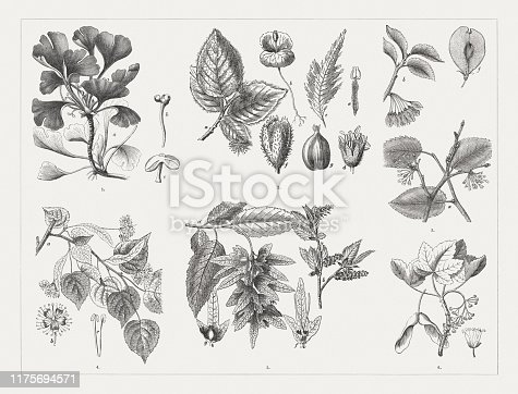 Deciduous trees: 1) Ginkgo (Ginkgo biloba), a-female twig, b-ovules, c-stamen; 2) European beech (Fagus sylvatica), a-flowering twig, b-seedling, c-fern-leaved beech (cultivated type), d-male blossom, e-stamen, f-cracked fruiting body with beechnuts, d-single beechnut; 3) European white elm (Ulmus laevis), a-flowering twig, b-fruit bearing branch, f-fruit; 4) Small-leaved lime (Tilia cordata), a-flowering twig, b-blossom, c-two stamens; 5) European hornbeam (Carpinus betulus), a-fruit, flowering twig, f-ovary, g-fruit; 6) Harewood (Acer pseudoplatanus) with blossoms and fruits. Wood engravings, published in 1894.