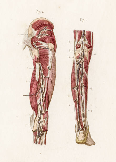 Deep lymphatics anatomy engraving 1886 A Text book of Naked Eye Anatomy sciatic nerve stock illustrations