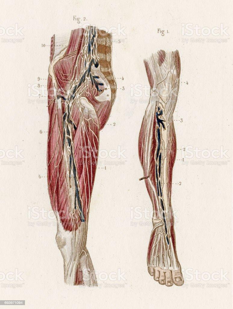 Ilustración de Anatomía Sistema Linfático Profundo Grabado De 1886 y ...