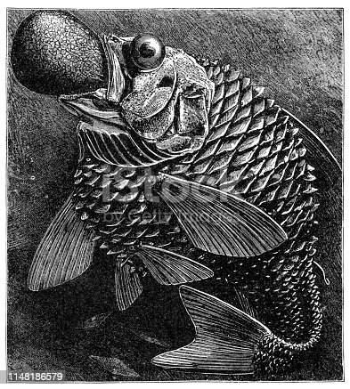 Steel engraving of deep sea fish Original edition from my own archives Source :