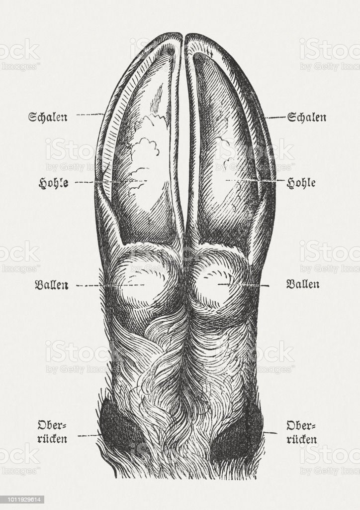 Deer Claw Wood Engraving Published In 1897 Stock Vector Art & More ...