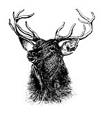 Deer | Early Woodblock Illustrations