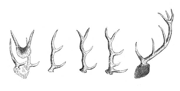 deer horns - deer antlers stock illustrations, clip art, cartoons, & icons