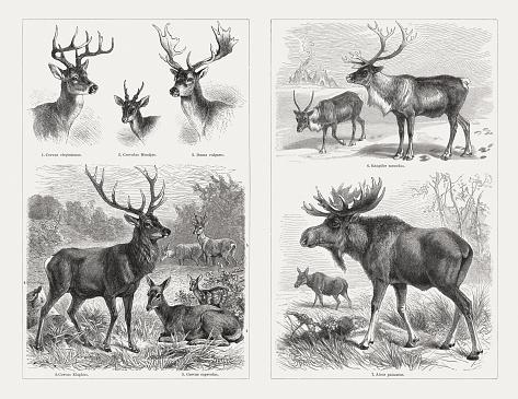 Deer (Cervidae), wood engravings, published in 1897
