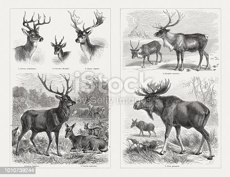 Deer (Cervidae): 1) White-tailed deer (Odocoileus virginianus, or Cervus virginianus); 2) Muntjac (Cervulus Muntjac); 3) Fallow deer (Dama dama, or Dama vulgaris); 4) Red deer (Cervus elaphus) with female deer and calf, in the background roe deer (5 - Capreolus capreolus, or Cervus capreolus); 6) Reindeer (Rangifer tarandus); 7) Moose, or elk (Alces alces, or Alces palmatus). Wood engravings, published in 1897.