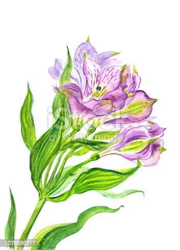 Delicate purple alstroemeria flowers, watercolor illustration on white background, floral print for poster, painting, greeting card, homeware lecor, etc.