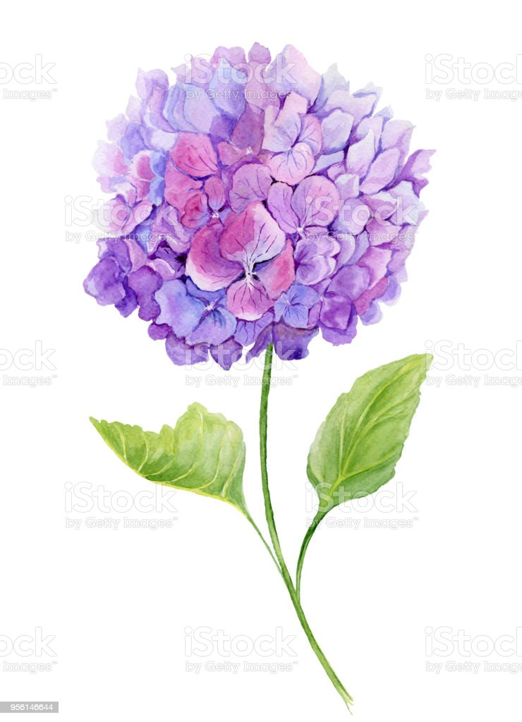 Delicate Spring Floral Illustration Beautiful Light Purple Hydrangea