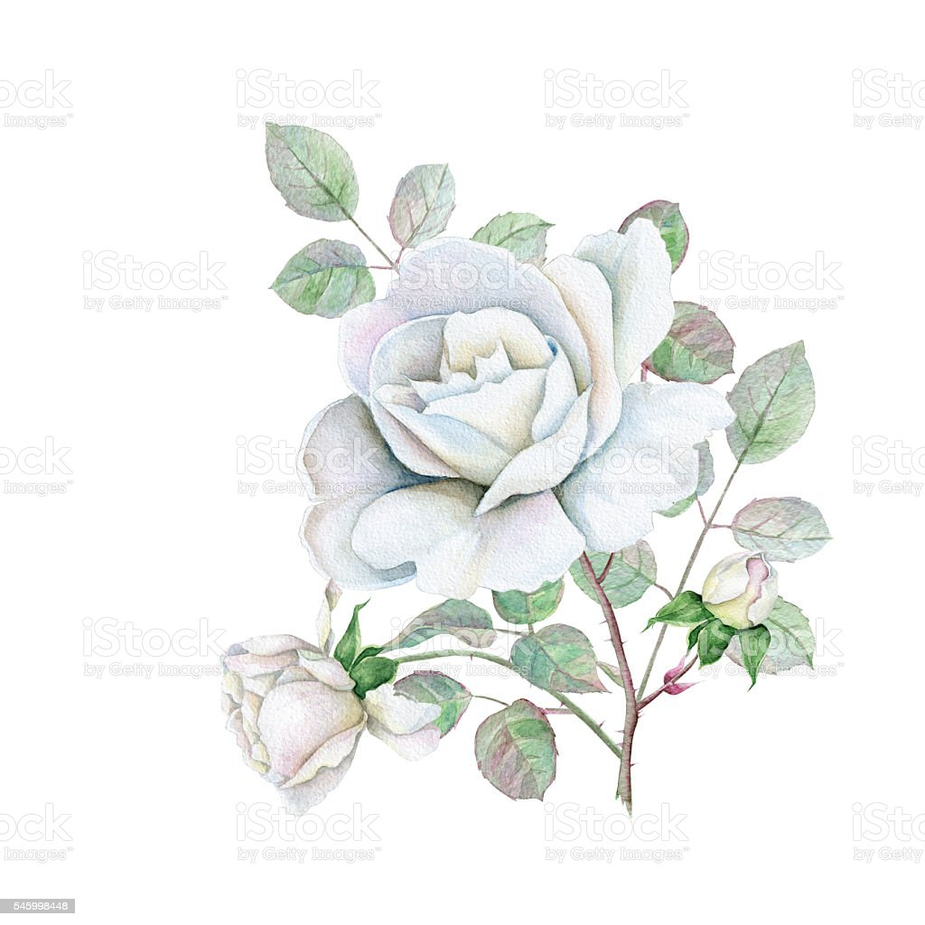 Delicate White Rose Stock Vector Art More Images Of Blossom
