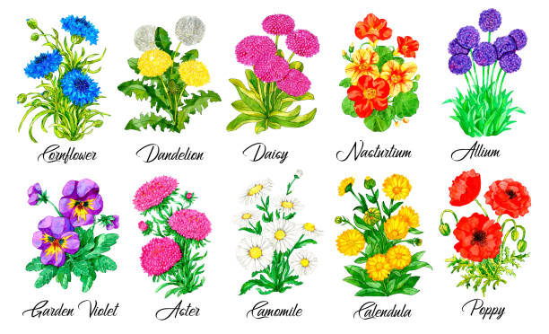 Design set of Cornflower, Daisy, Nasturtium, Pansy, Aster, Chamomile and other flowers isolated on white vector art illustration