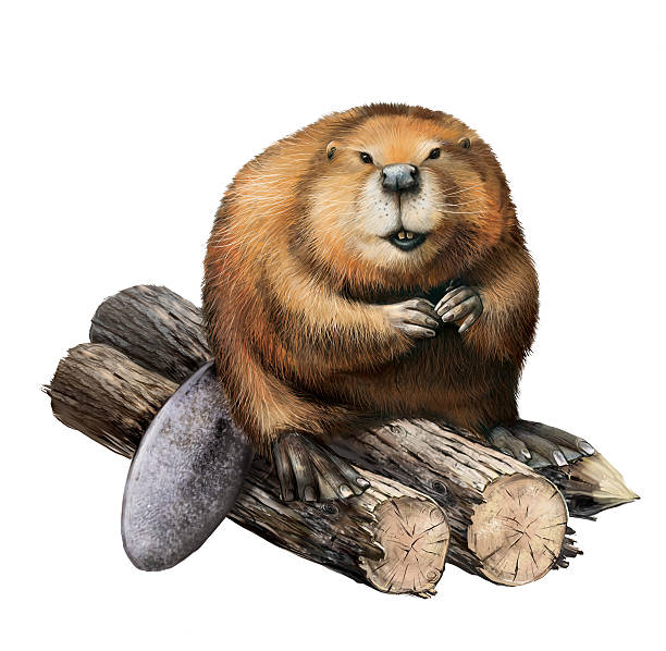 Detailed pencil drawing of a beaver sitting on logs Young beaver sitting on a logs. Illustartion isolated on white beaver stock illustrations