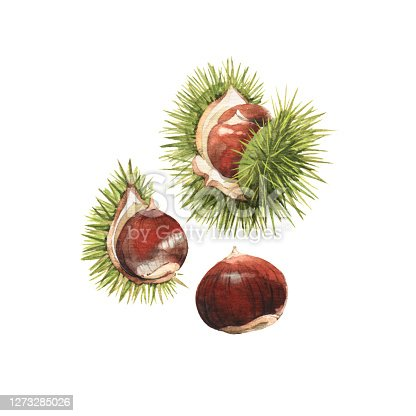 istock Detailed watercolour illustrations of chestnuts 1273285026
