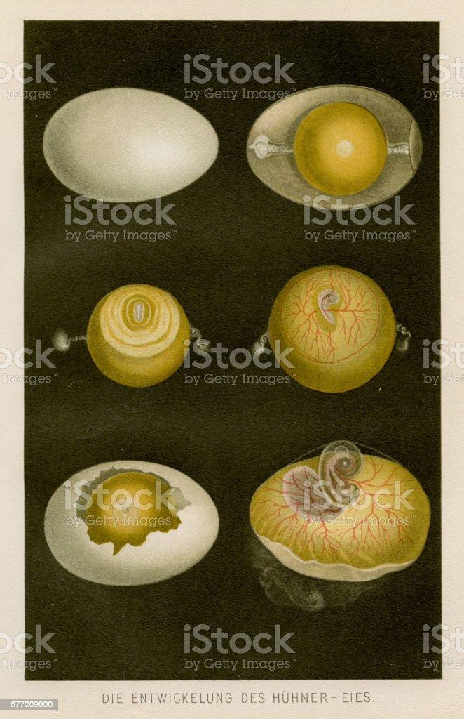 Development Of Chicken Egg Anatomy Engraving 1857 stock vector art ...