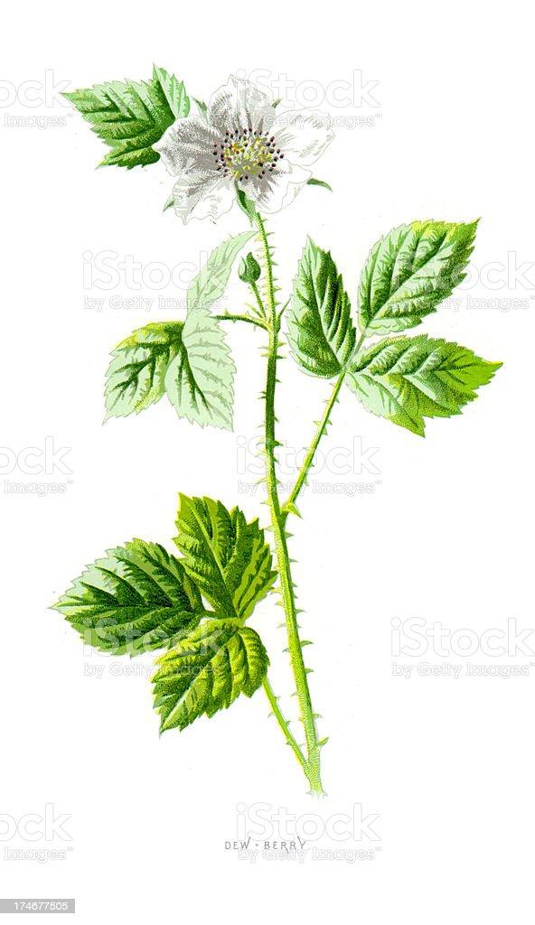 Dewberry - Rubus Eubatus vector art illustration