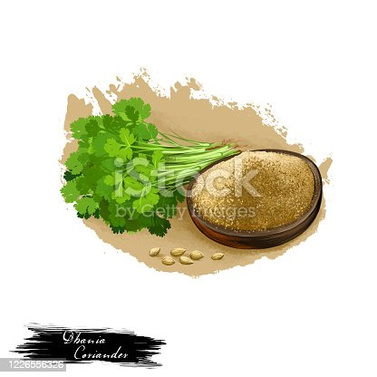 Dhania - Coriander ayurvedic herb digital art illustration with text isolated on white. Healthy organic spa plant widely used in treatment, for preparation medicines for natural healthcare usages