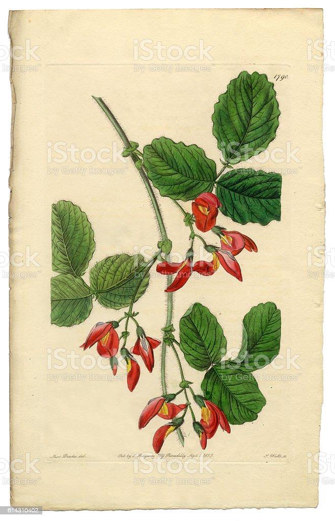 Diadelphia Decandria Victorian Botanical Illustration, Kennedya Marryattae, Kennedya, 1835 vector art illustration