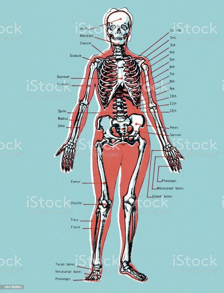Ilustración de Diagrama De Skeleton y más banco de imágenes de 2015 ...