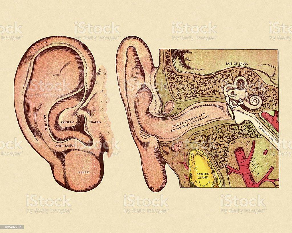 Ilustración de Diagrama De Oreja y más banco de imágenes de Anatomía ...