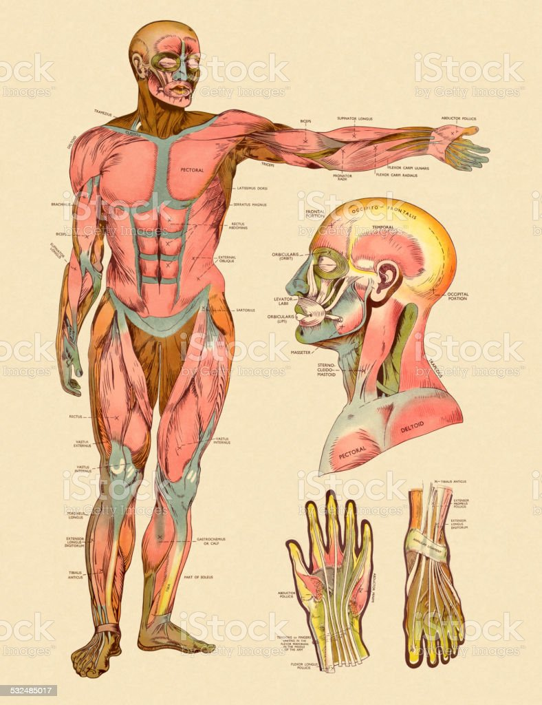 Diagram of Front Muscles of Human Body vector art illustration