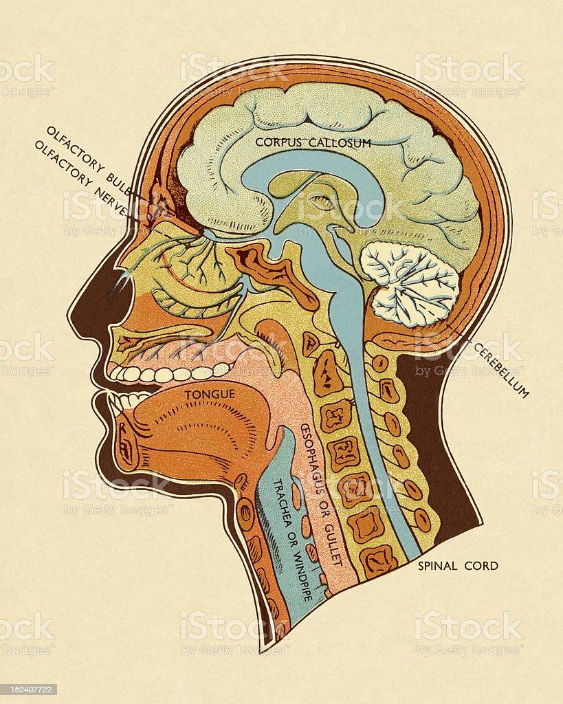 Ilustración de Diagrama De Cabeza Y Cuello y más banco de imágenes ...