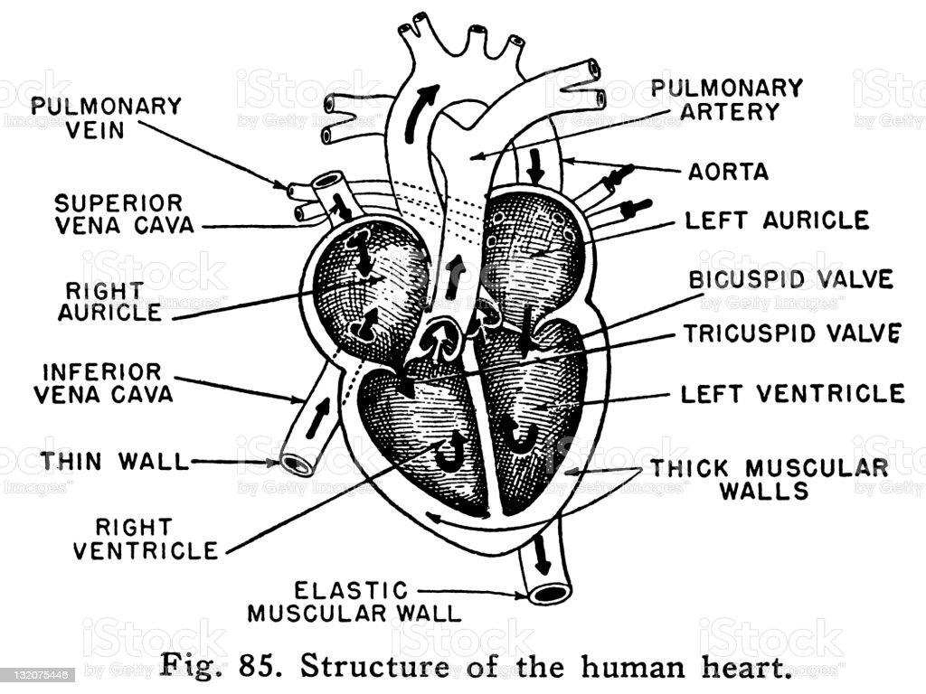 Ilustración de Diagrama Del Corazón y más banco de imágenes de ...