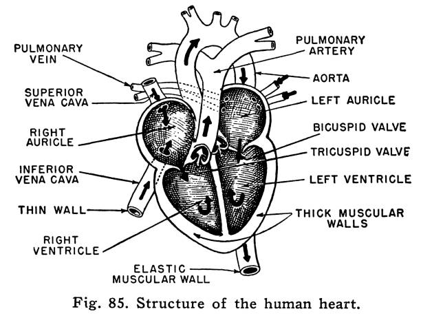 Heart Anatomy Interior View Illustrations, Royalty-Free ...