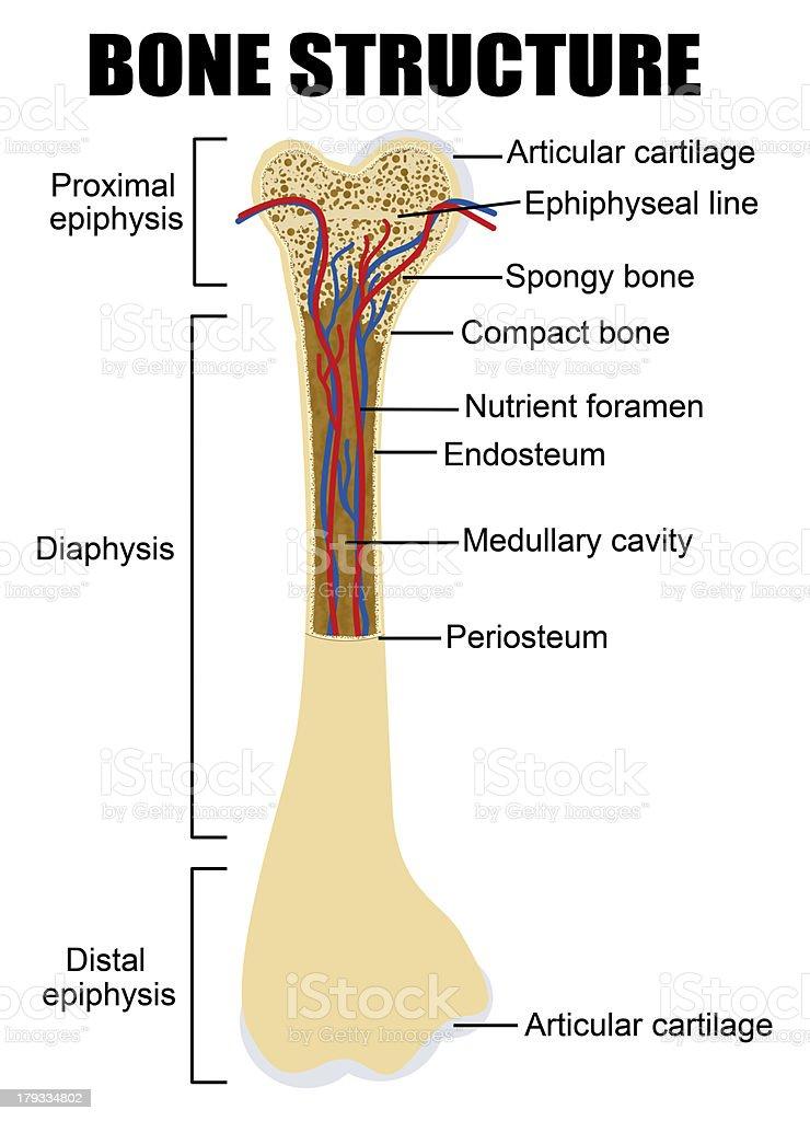 Diagram of human bone anatomy vector art illustration