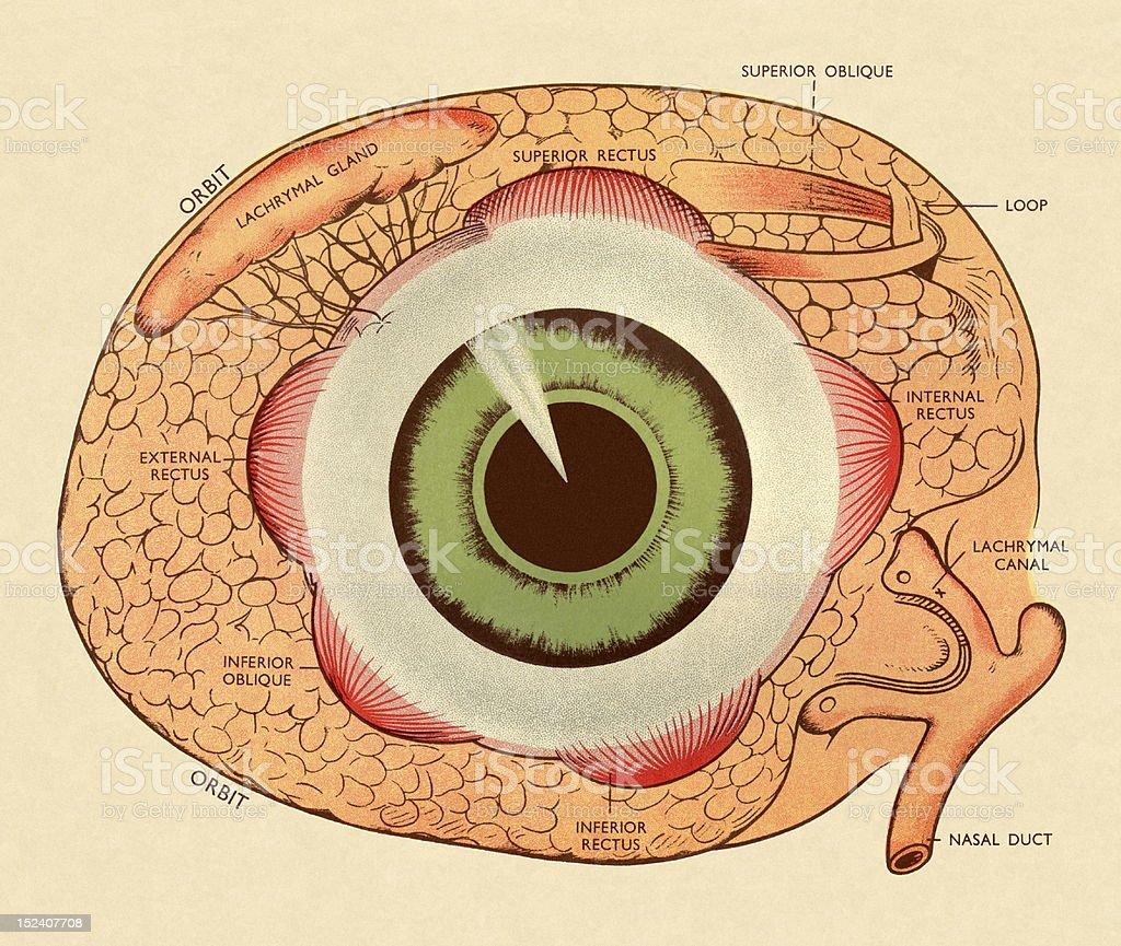 diagrama del ojo humano ilustraci�n de diagrama del ojo humano y m�s  vectores libres de derechos