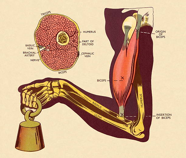 Royalty Free The Muscular System Labeled Clip Art Vector Images