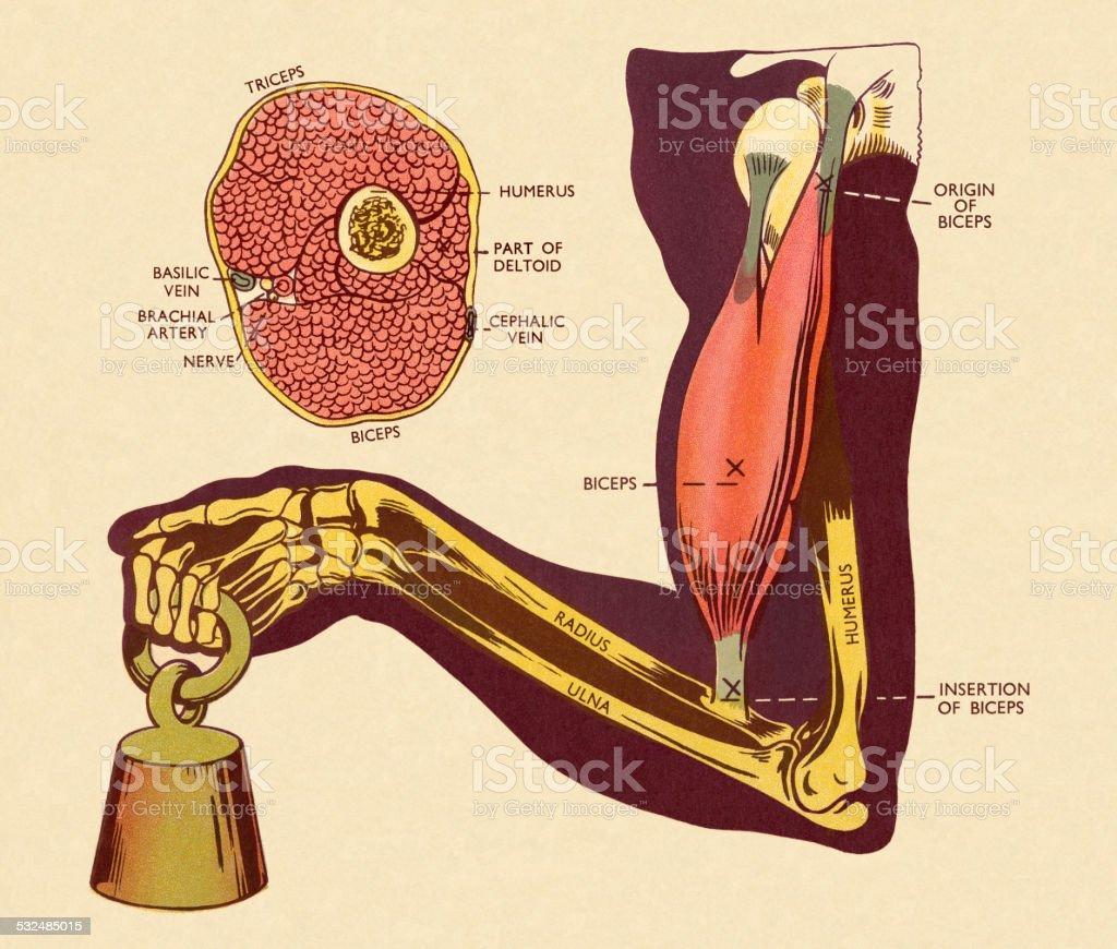 Ilustración de Diagrama De De Los Músculos Y Hueso Del Brazo y más ...