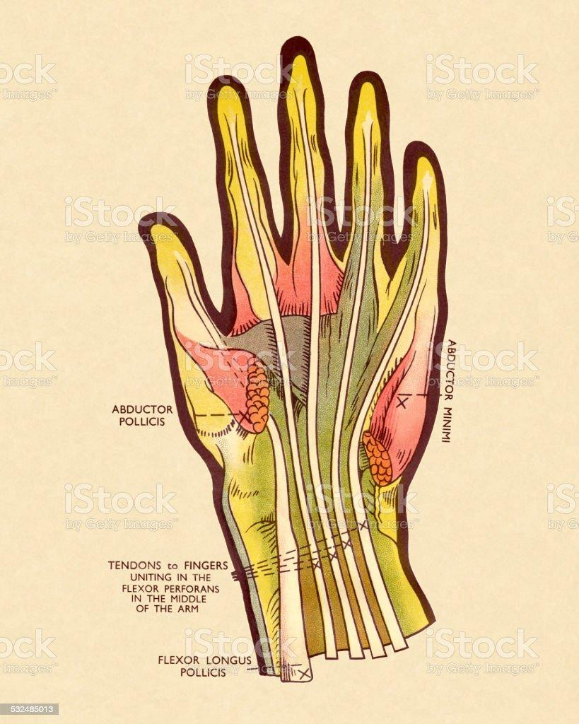 Diagram Of Tendons In Hand Stock Illustration