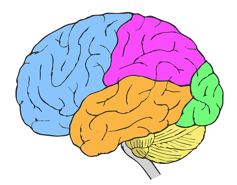 Diagram representing frontal, parietal, occipital, and temporal lobes of the brain