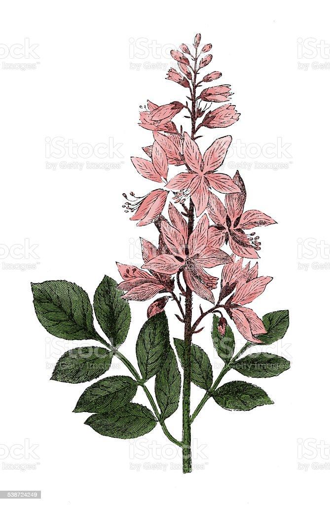 Dictamus (antique botanical engraving) vector art illustration