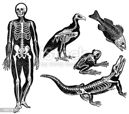 Engraving From 1867 With The Skeletons Of Different Animals. Human, Reptile, Fish, Bird, And Amphibian Are Featured.