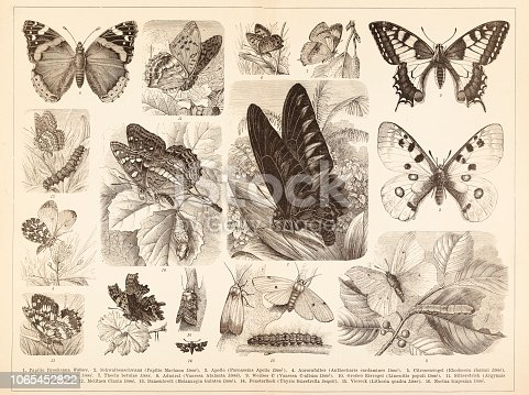 Steel engraving of different butterfly Papilio is a genus in the swallowtail butterfly family, Papilionidae, as well as the only representative of the tribe Papilionini. Birdwings are butterflies in the Swallowtail family, that belong to the genera Trogonoptera, Troides, and Ornithoptera. Original edition from my own archives Source : Brockhaus Conversationslexikon 1884