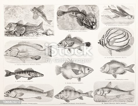 Steel engraving different fish like bass and sea beam Original edition from my own archives Source : Brockhaus Conversationslexikon 1883