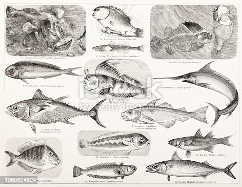 Steel engraving different fish like tuna and swordfish Original edition from my own archives Source : Brockhaus Conversationslexikon 1883
