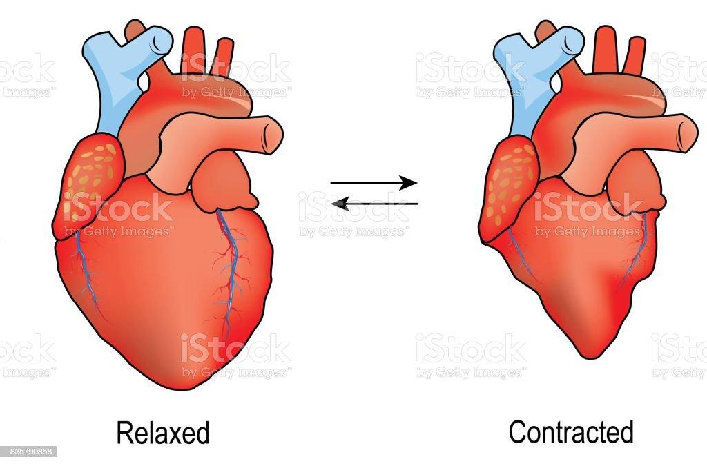 Ilustración de Diferentes Ilustraciones Para El Corazón Humano ...