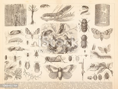 Steel engraving different insects locust , june beetle or Colorado beetle Original edition from my own archives Source : Brockhaus Conversationslexikon 1884