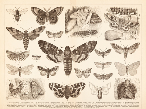 Different insects moth Lepidoptera death's head illustration