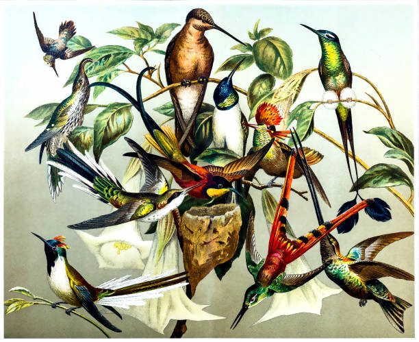 different kinds of hummingbirds - bird watching stock illustrations, clip art, cartoons, & icons