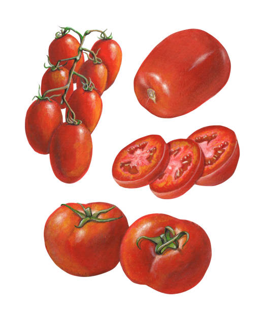 Different tomato varieties Some tomato varieties. Mixed media illustration on paper. tomato stock illustrations