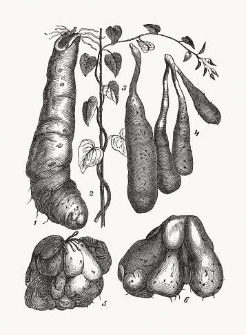 Different types of sweet potato, wood engraving, published in 1893