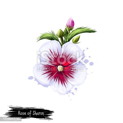 Rose of Sharon isolated on white. Hand drawn flowering bush Hibiscus syriacus. Colorful botanical drawing. Greeting card, birthday, anniversary, wedding graphic clip art. Digital art illustration