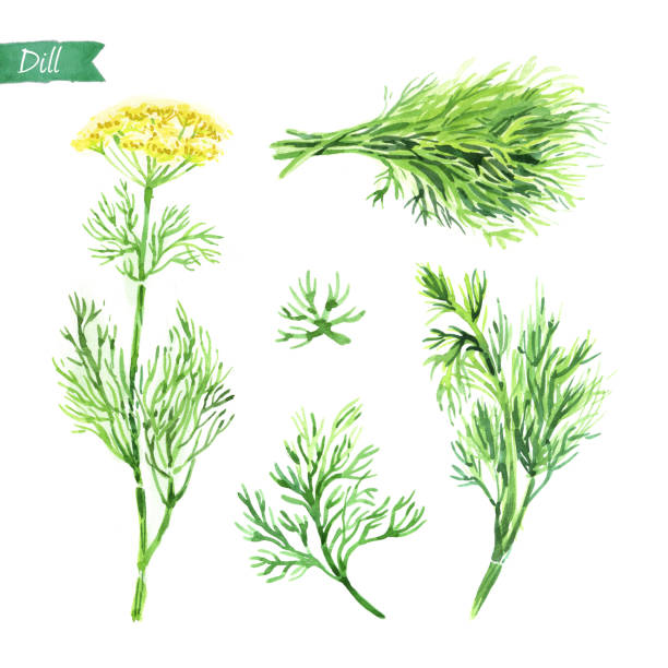 Dill plant, twigs and bunch watercolor illustration Watercolor illustration of fresh dill plant with flowers, leaves, twigs and bunch on white background dill stock illustrations