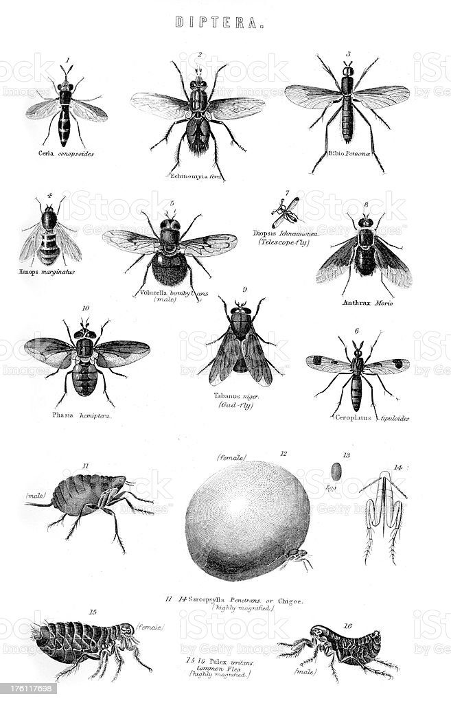 Diptera Insects Flies royalty-free stock vector art