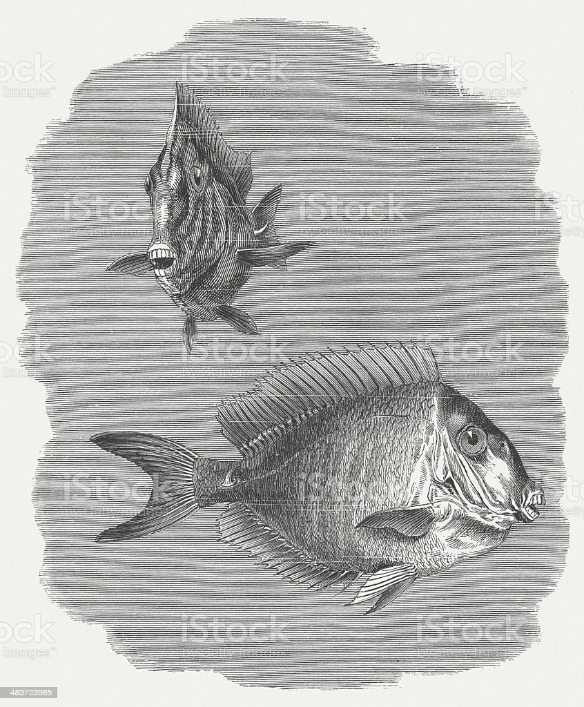 Doctorfish tang (Acanthurus chirurgus), wood engraving, published in 1884 vector art illustration